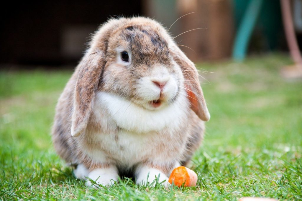jenis kelinci cashmere lop