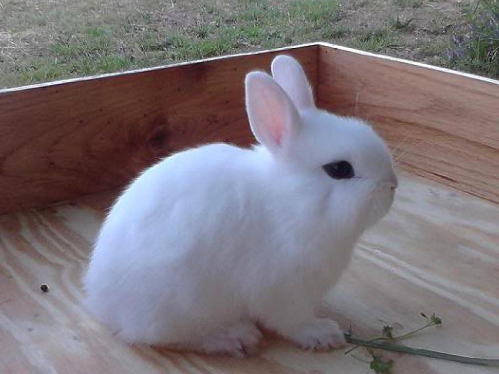 jenis kelinci drarf hotot 1