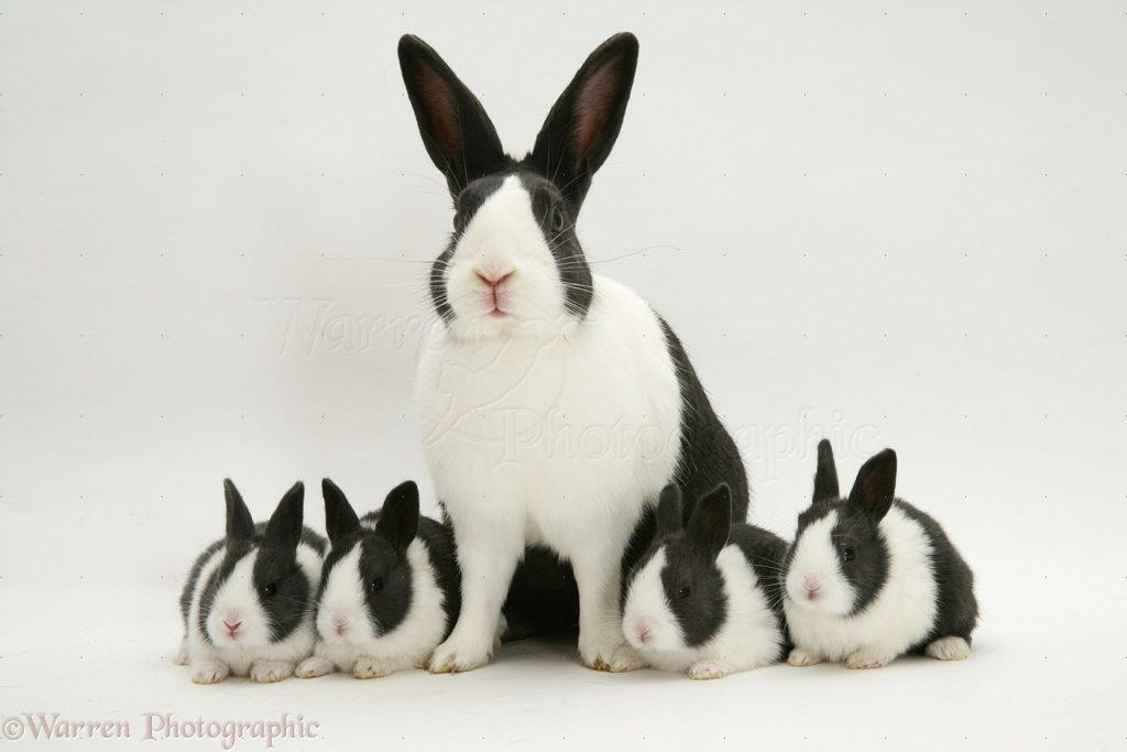 jenis kelinci dutch rabbit 1