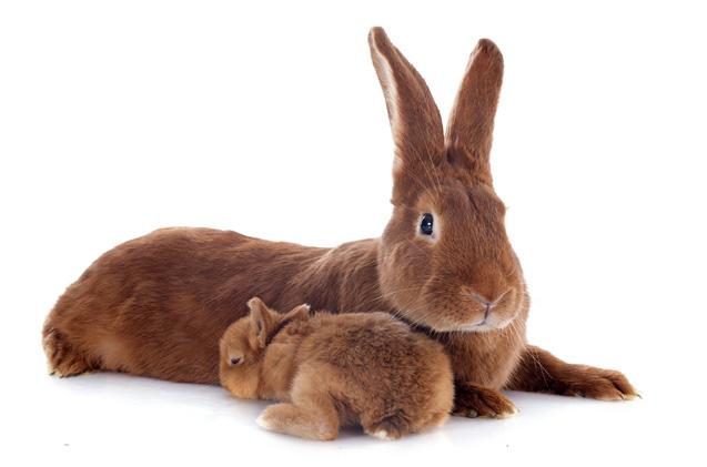 jenis kelinci fauve de bourgogne