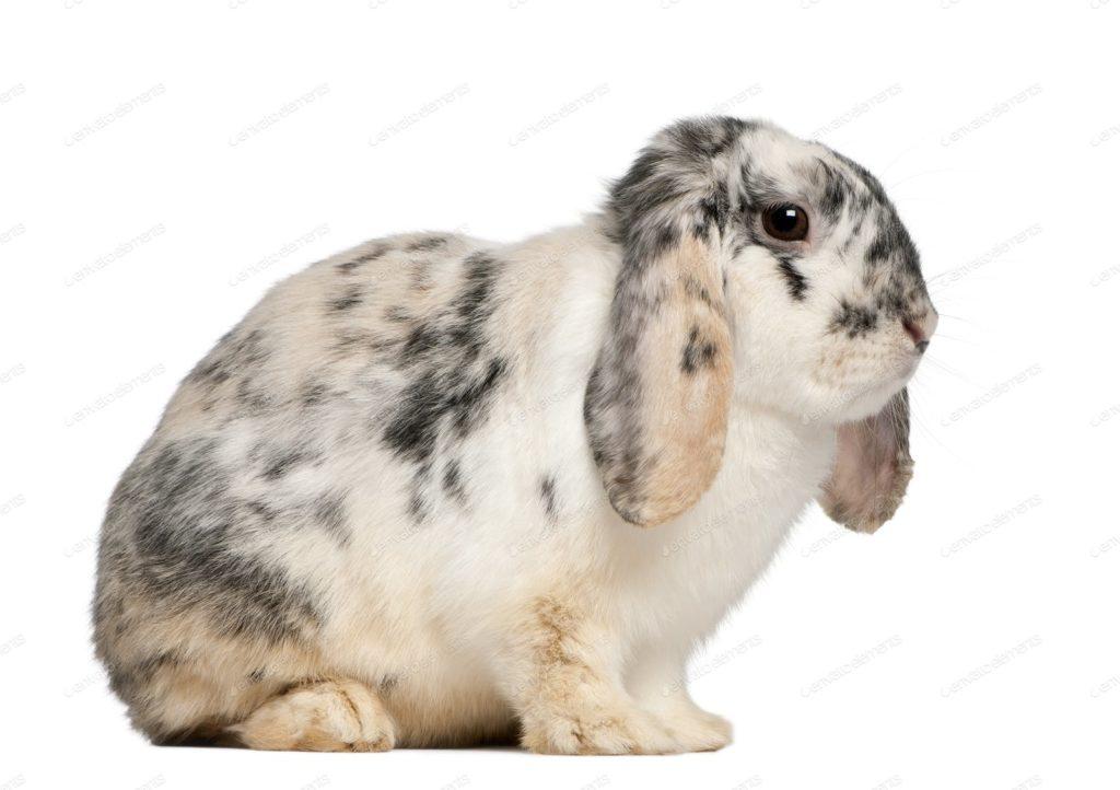 jenis kelinci french lop
