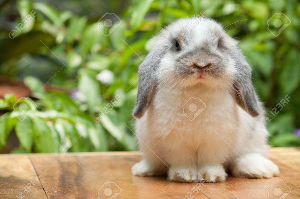 jenis kelinci holland lop