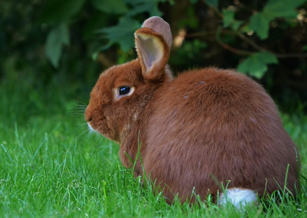 jenis kelinci new zealand rabbit 1