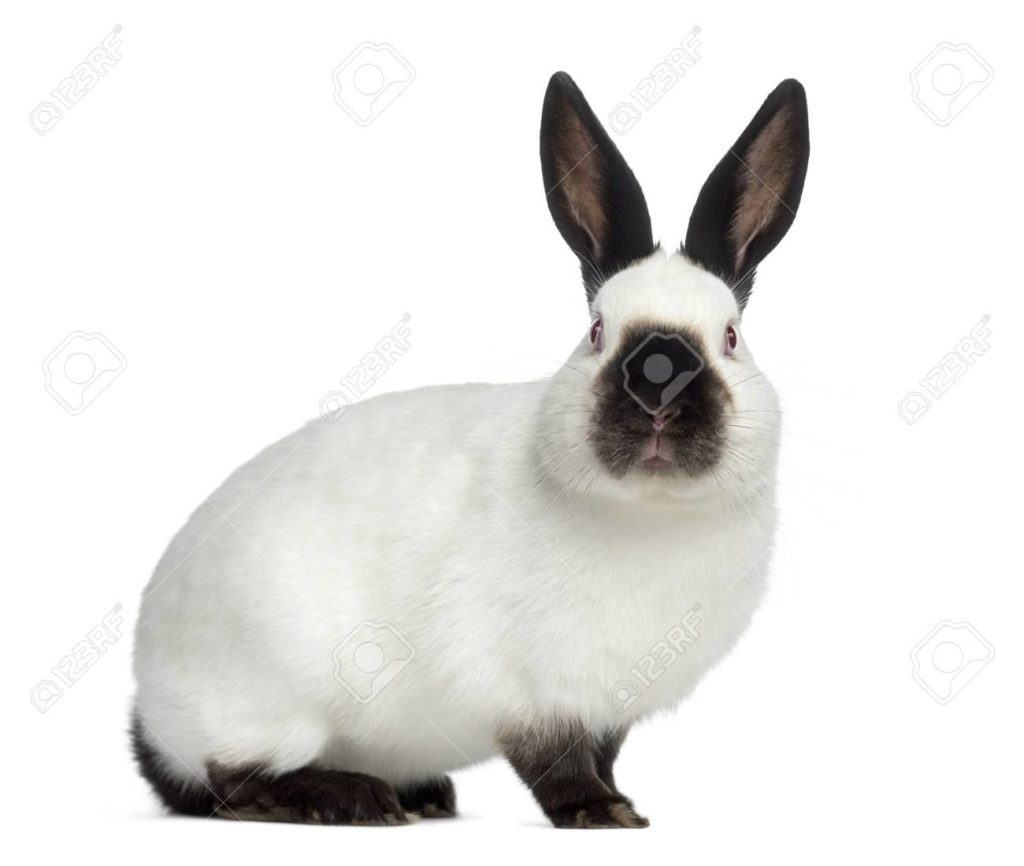 jenis kelinci russian rabbit