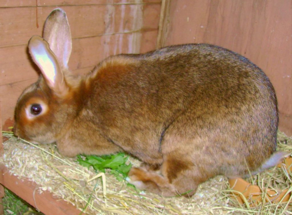 jenis kelinci satin rabbit 1