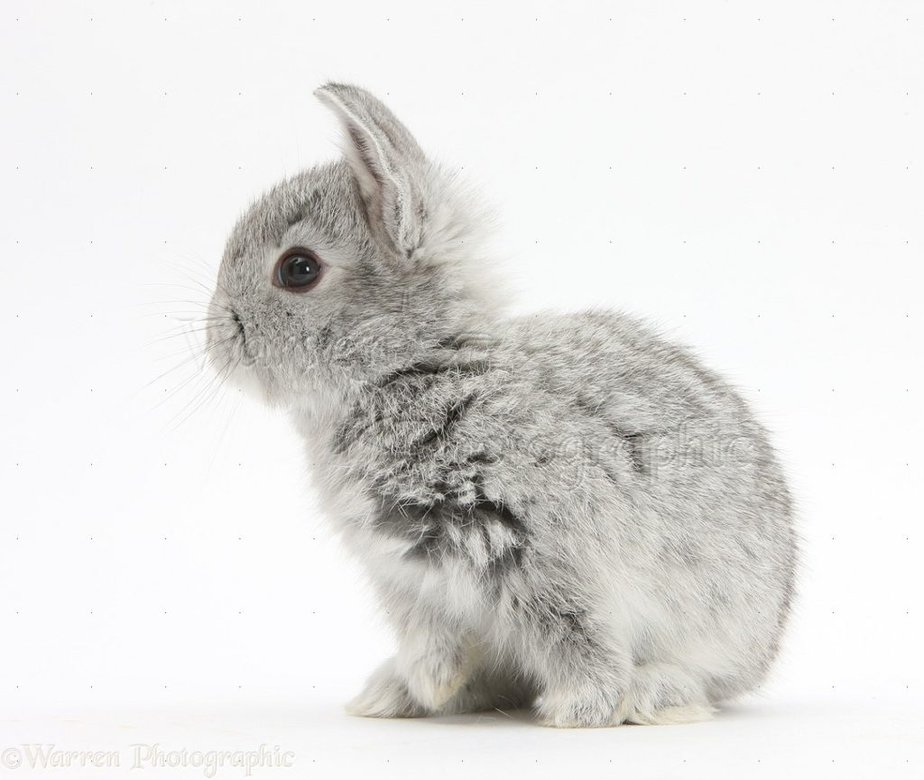 Baby silver rabbit