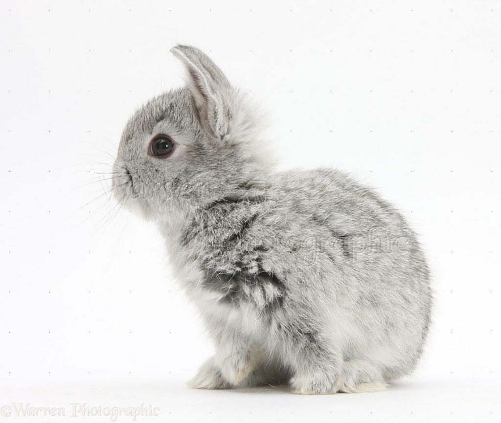 Baby silver rabbit