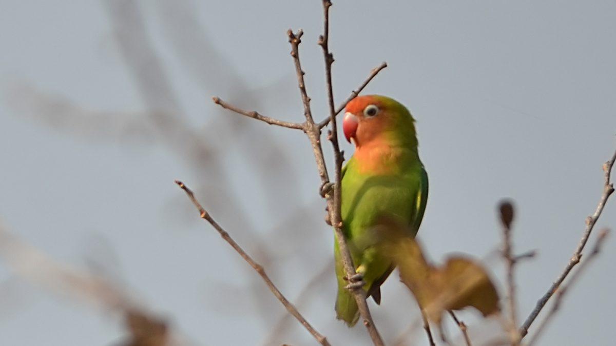 25 Jenis Lovebird detail dengan ciri-ciri dan harga