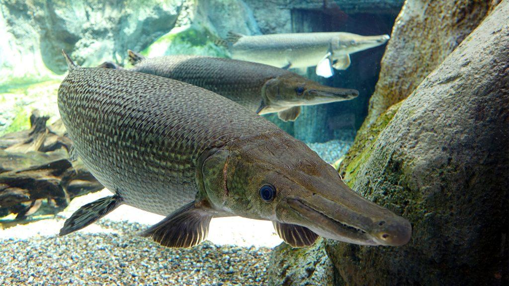 ikan aligator 1