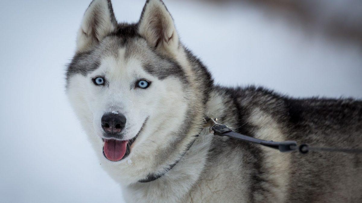 Mengenal Lebih Dekat Tentang Karakter Anjing Husky