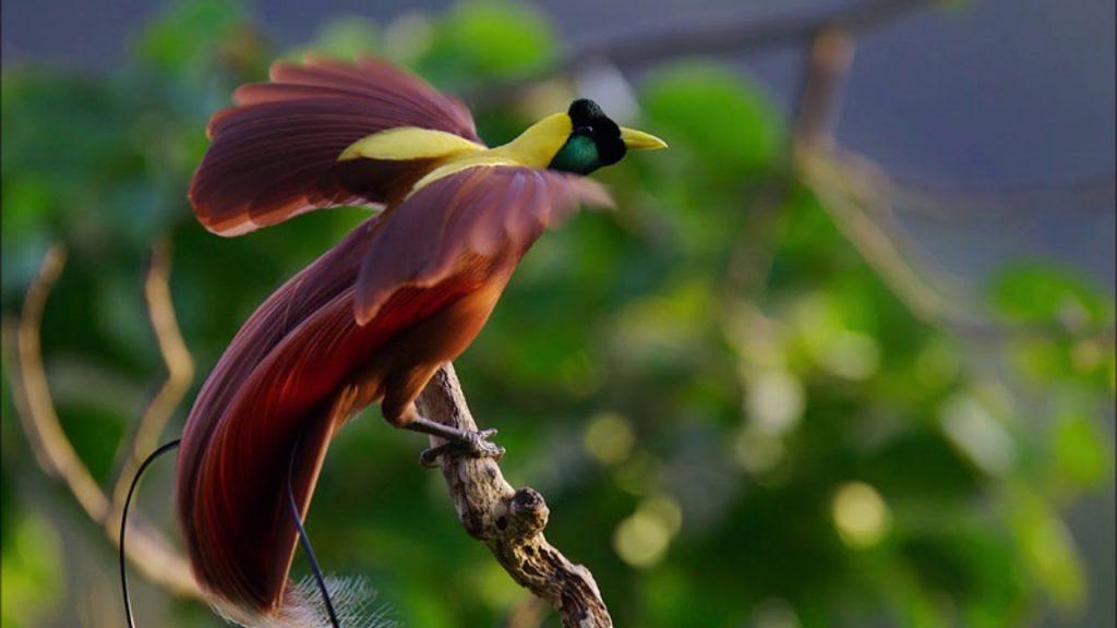 burung cendrawasih ekor panjang