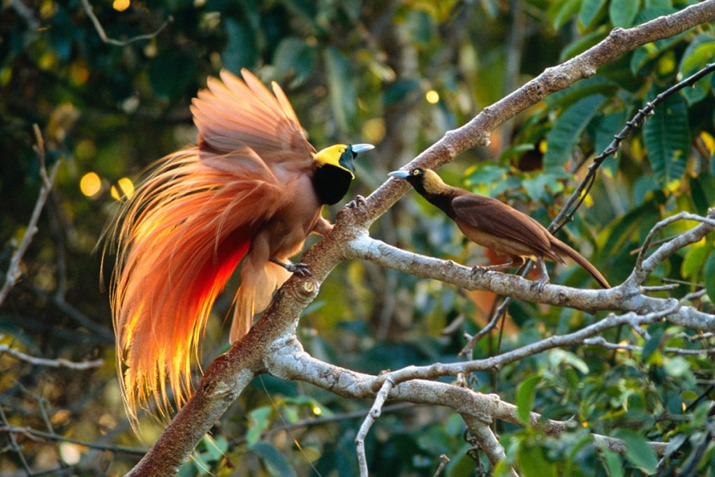 burung cendrawasih kuning besar