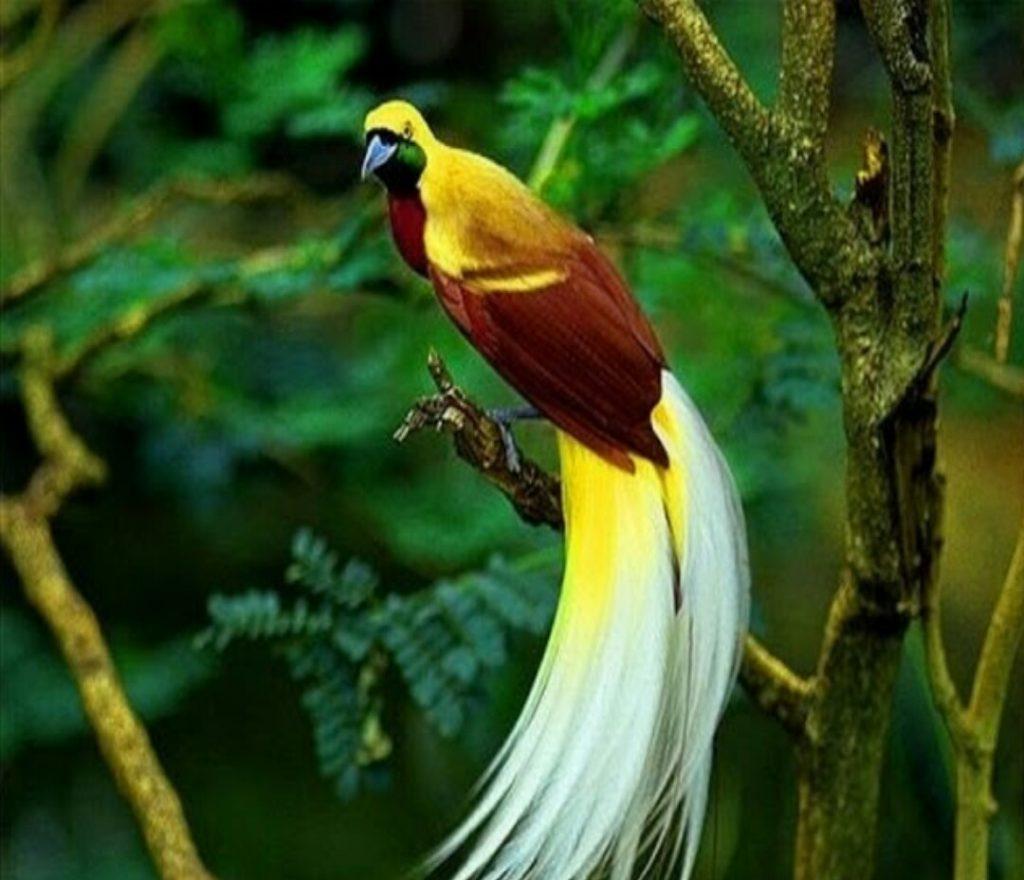 burung cendrawasih kuning kecil