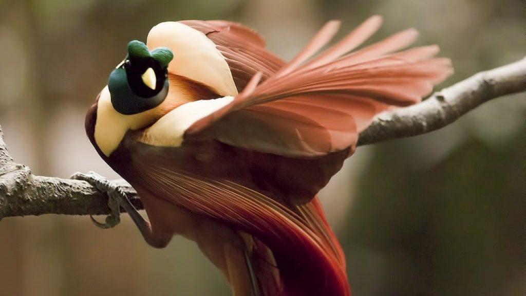 burung cendrawasih merah