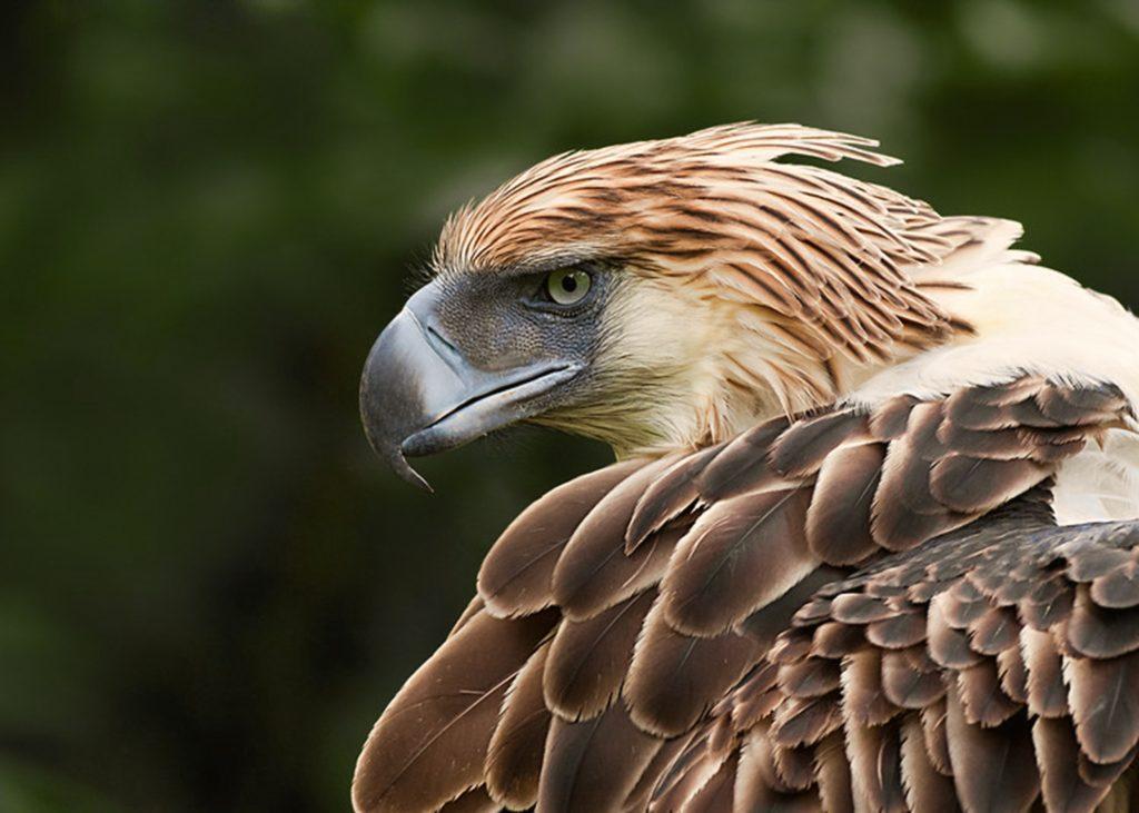 burung elang filiphina