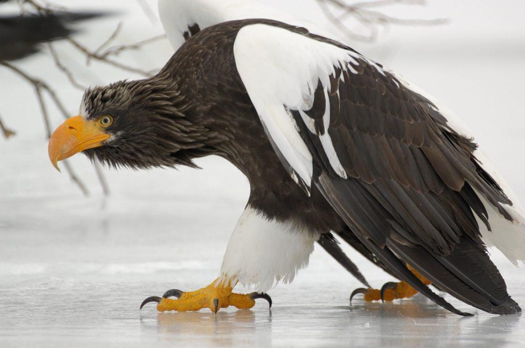 burung elang steller sea