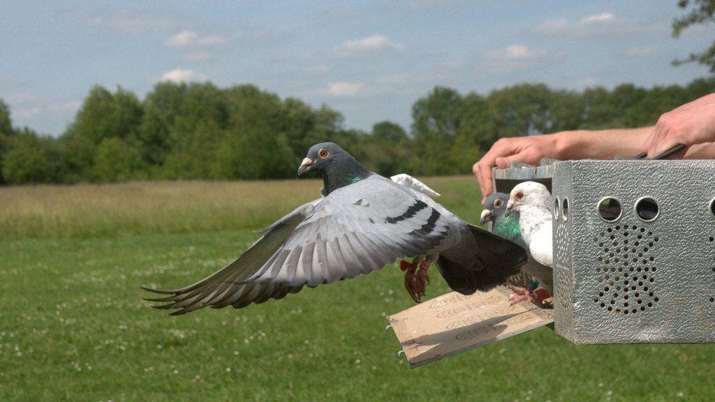 burung merpati carrier