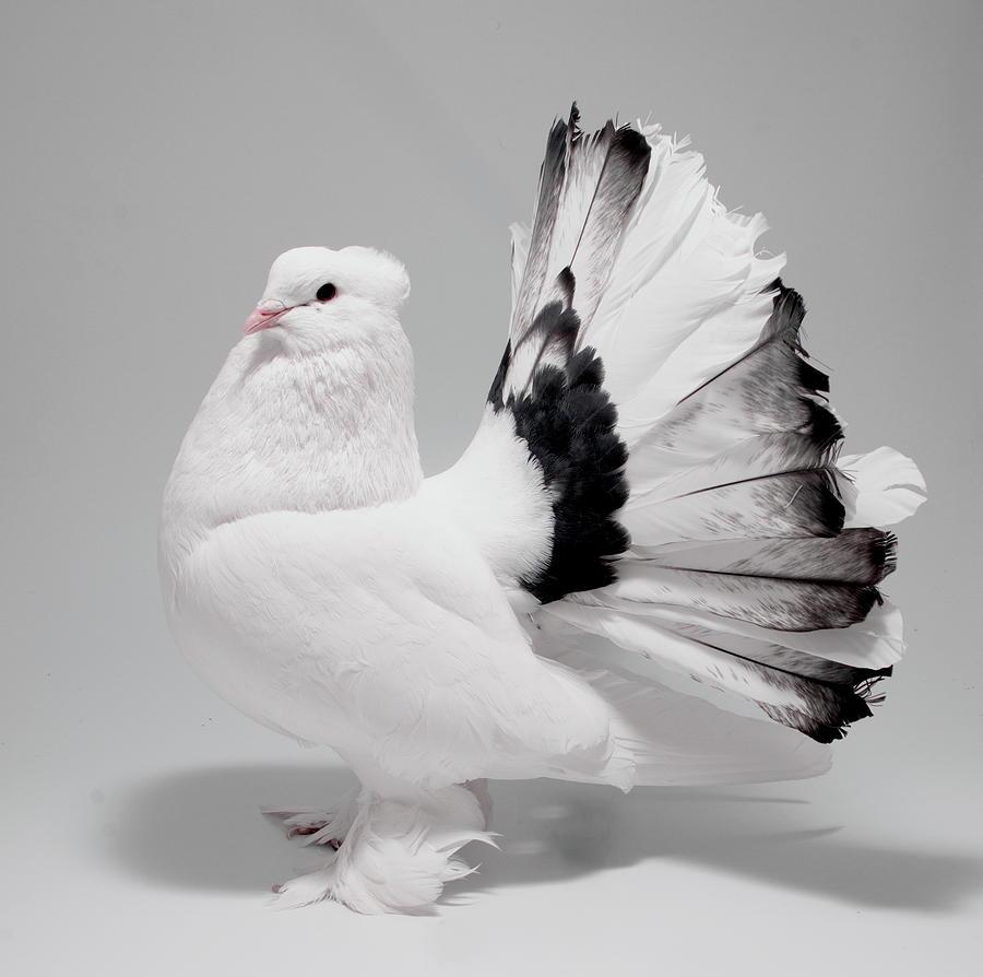 burung merpati fantail