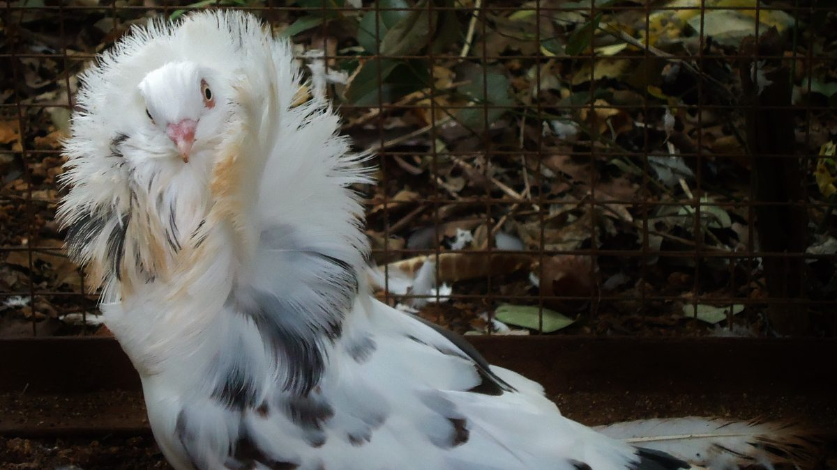 11 Jenis Burung Merpati Hias yang jarang diketahui orang