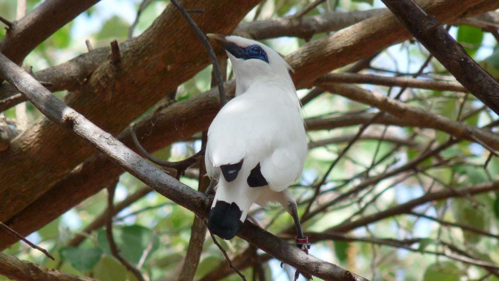 burung jalak bali 2