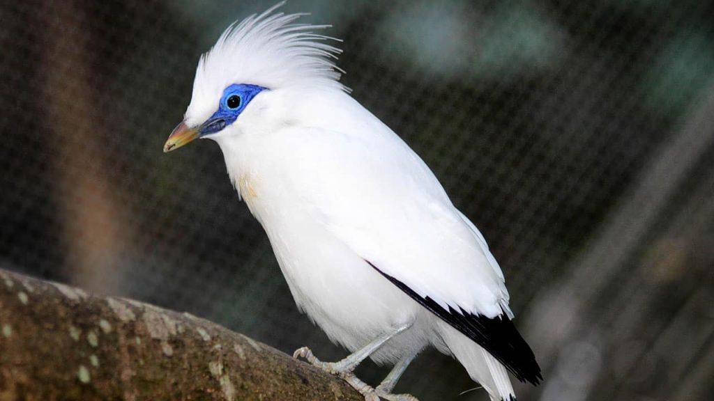 burung jalak bali 3