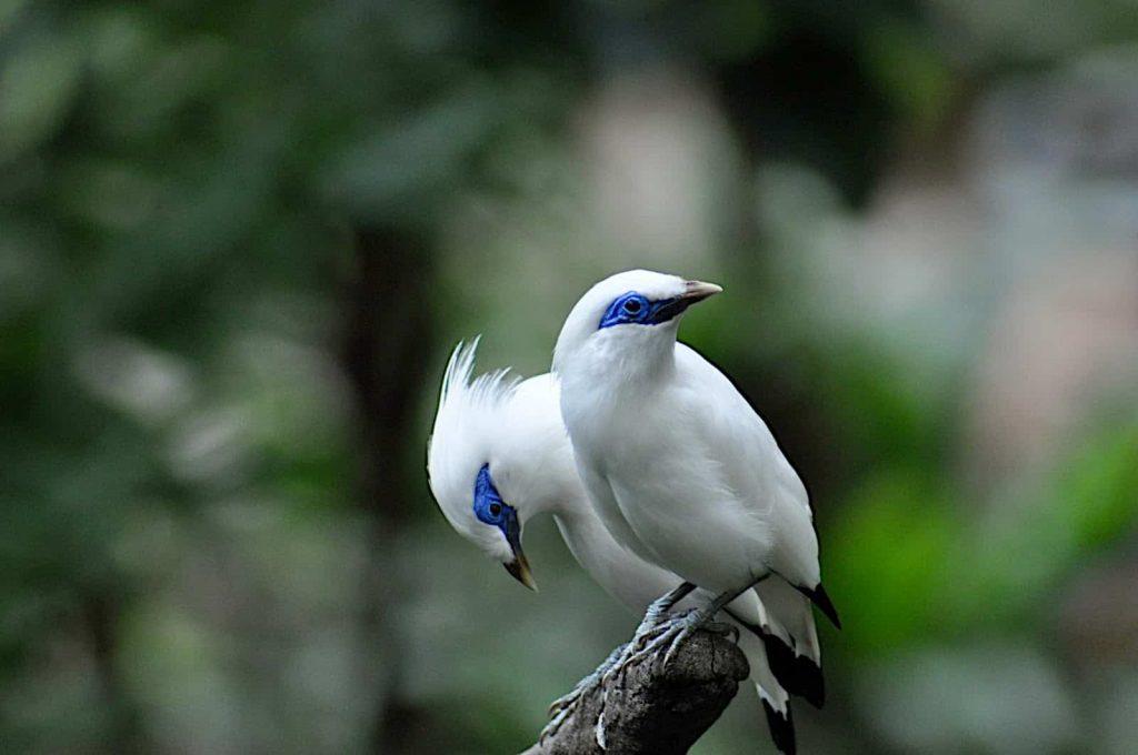burung jalak bali 4