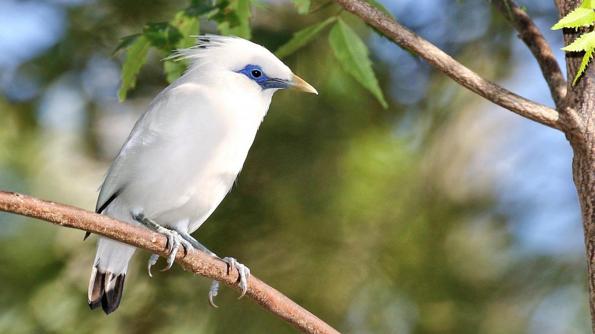 8 Ciri-ciri burung jalak bali dan populasinya