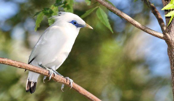 burung jalak bali 6