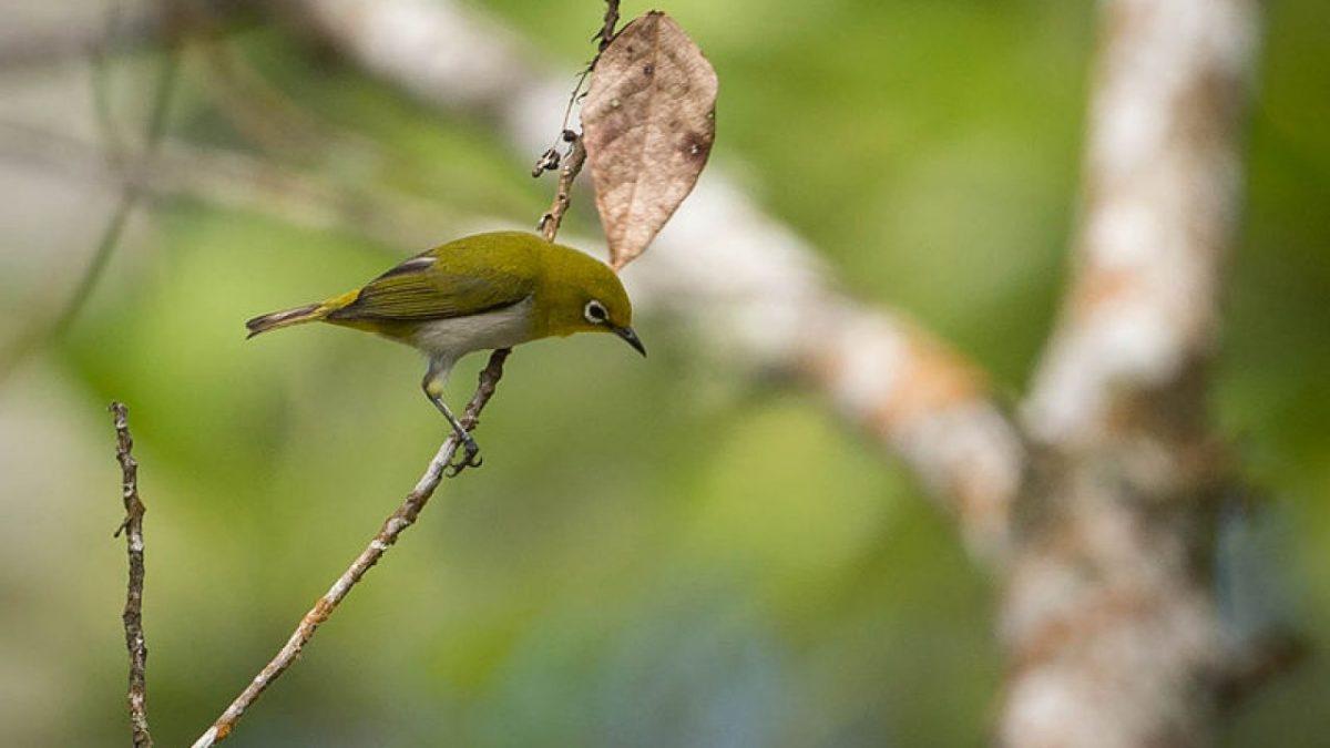 Burung Pleci: Habitat, Ciri Khas dan Cara Merawatnya