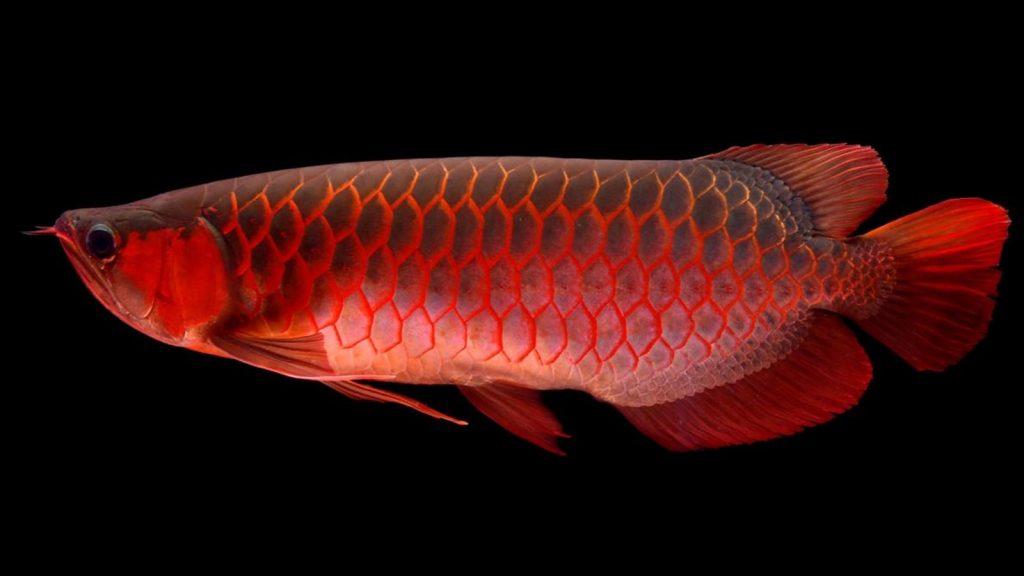 Banjar Red Arowana