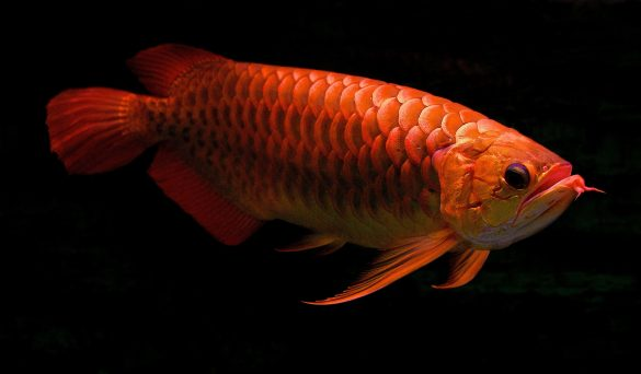 ikan arwana red tail golden