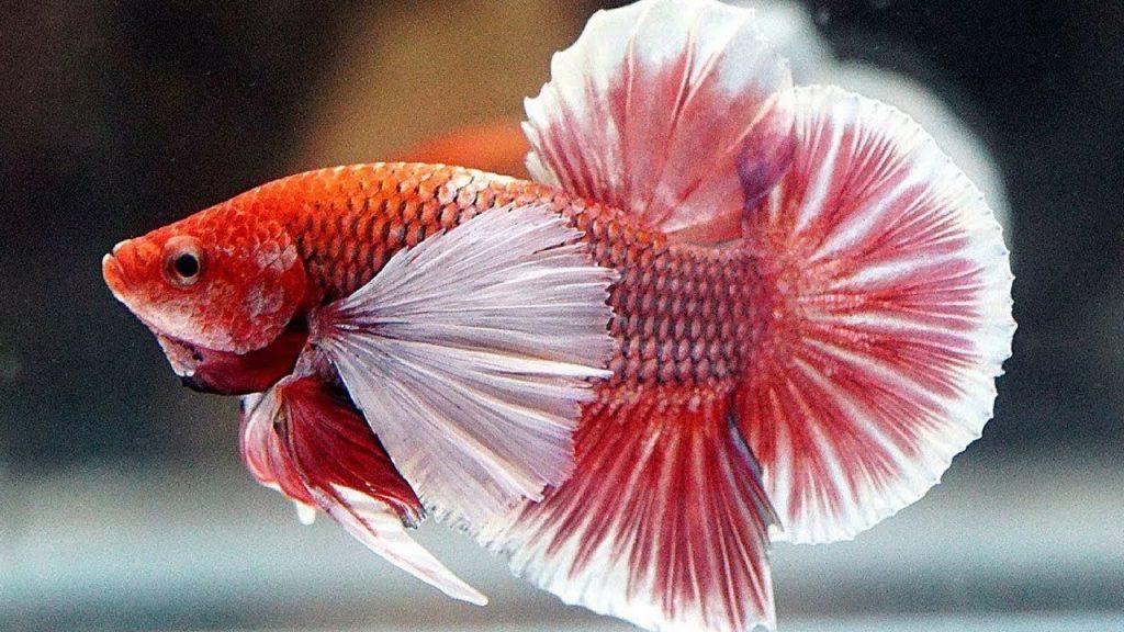 ikan cupang dumbo ear