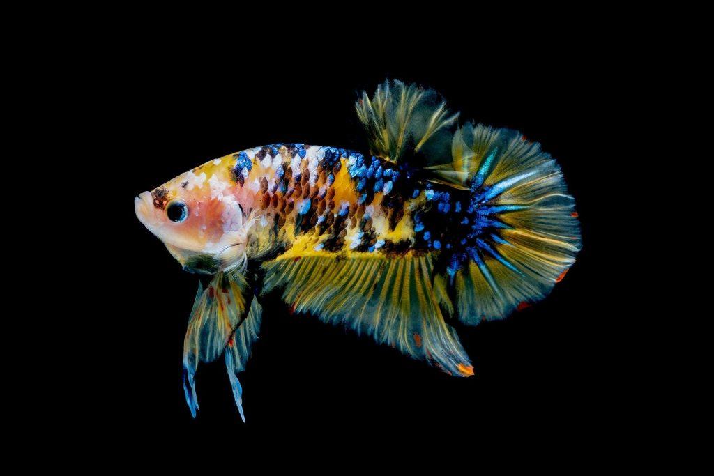 ikan cupang hias fancy